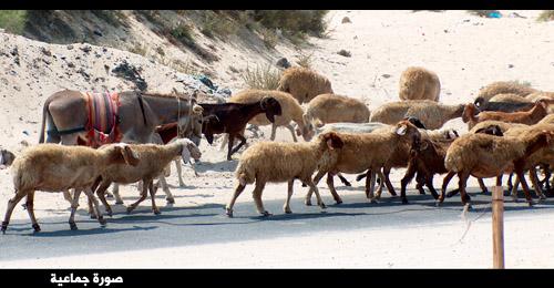 قطيع أغنام وحمار على الطريق العام - شاطئ بحر خان يونس